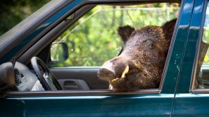 article jabalies responsables mayoria accidentes coche animales 102180 545c904874cbe